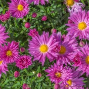 5 pointers for growing aster in autumn