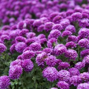 Proven advice for growing gorgeous chrysanthemums