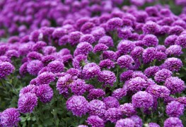 Helpful tips for caring for chrysanthemum plants