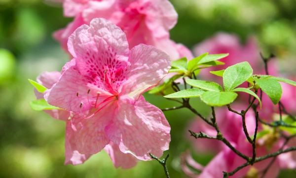 Gardening hacks for roses, gardenias and azaleas