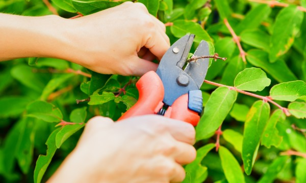 Properly prune your climbing plants
