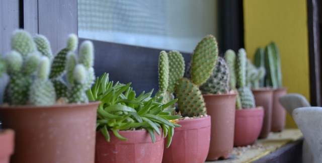 Caring for cacti: tips and tricks