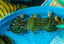 Learn how to care for pet turtles and tortoises