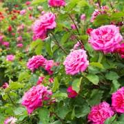 Care-free perennials: rose campion