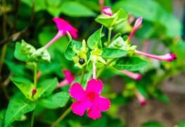 5 gardening tips for growing four o'clocks