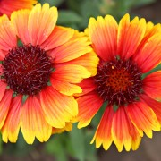 Care-free perennials:  blanket flower