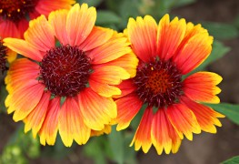 Care-free perennials:  blanket flower