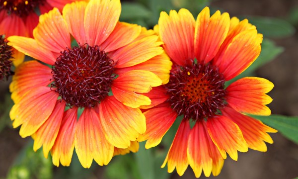Care free perennials blanket flower smart tips care free perennials blanket flower mightylinksfo
