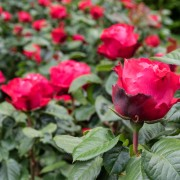 5 tips for pruning healthy, beautiful roses