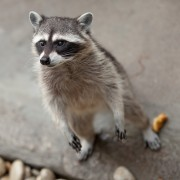 3 handy hints for keeping your campsite raccoon-free