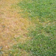 Fixes for animal-damaged lawns
