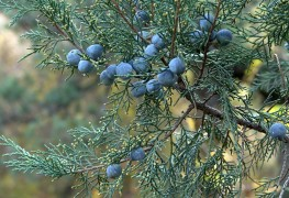 Learn to select and care for the perfect juniper