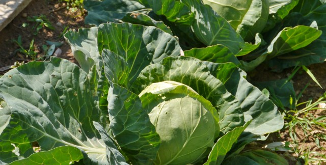 Care-free annuals: flowering cabbage
