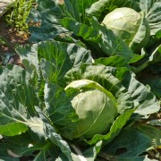 Vegetables for vitality: cabbage