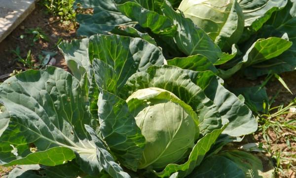 Green gardening: growing cabbage