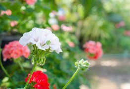 Learn to care for ivy and scented-leaf geraniums