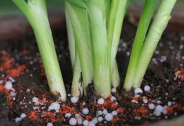 How to grow your own onions and garlic