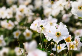 A gardener's guide to growing Japanese anemone