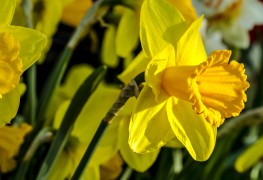 From bulb to flower: how to care for daffodils