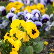 5 reasons to add pansies to your garden