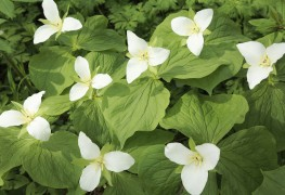 7 tips for growing hardy and beautiful trilliums