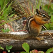 4 ideas for keeping chipmunks out of your garden
