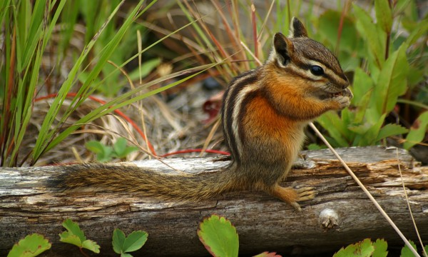 4 ideas for keeping chipmunks out of your garden Smart Tips