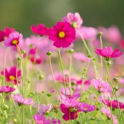 4 tips for growing cosmos in your garden
