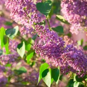 4 tricks to growing fragrant, lush lilacs