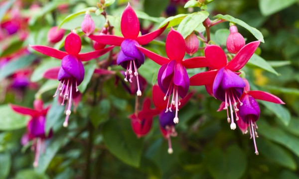 4 tricks for healthy and full fuschia plants smart tips ForFushia Exterieur
