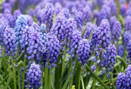 Care-free grape hyacinth: from bulbs to flowers in your garden