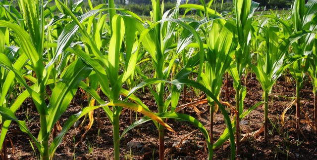 The lowdown on sorghum, maize and gathering grains