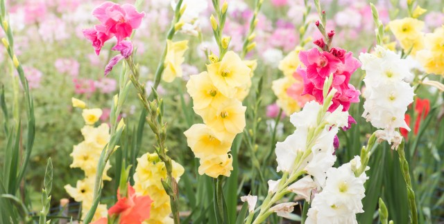 5 steps to hardier, more colourful gladiolus