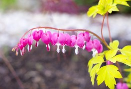 Bleeding heart perennials say it all