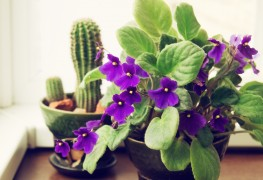 The benefits of violet