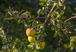 Simple ways to prune and train fruit trees and bushes