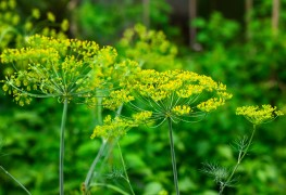 5 basics of growing and harvesting dill