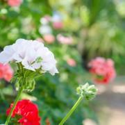 5 essential tips for geraniums
