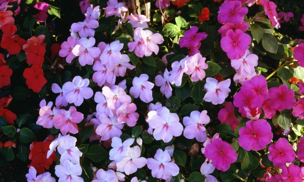 5 pointers for growing impatiens