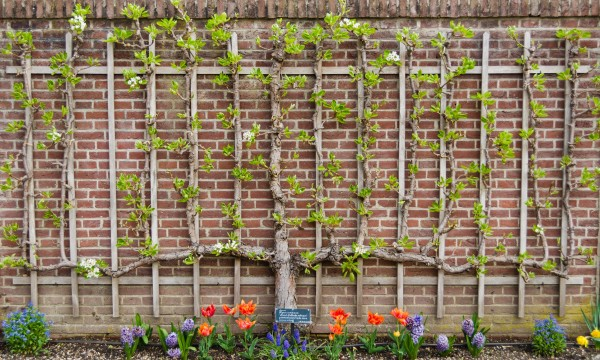 5 Steps To Making An Espalier In Your Garden