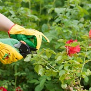 5 tips for caring for your rose garden