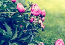 5 tips for growing beautiful peonies in your garden