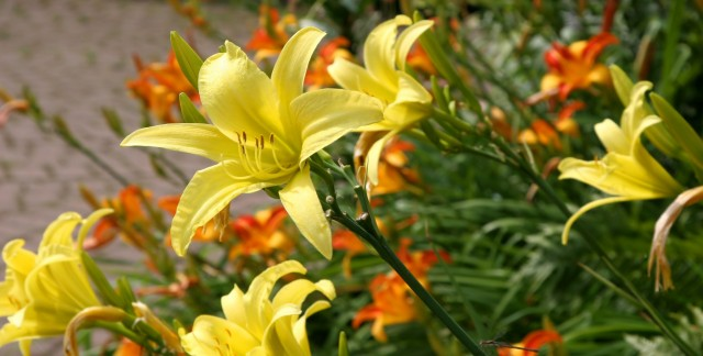 5 tips for growing daylilies