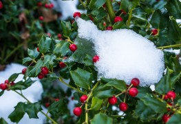 5 tips for using holly to add colour to your garden