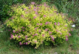 Expert advice for growing healthy spirea