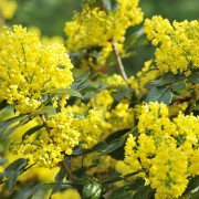 5 expert tips to help you grow bountiful mahonia