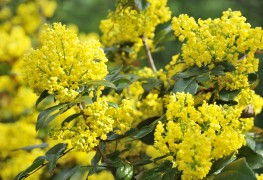 5 expert tips to help you grow bountiful mahonia