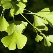 8 practical facts on ginkgo and its many healing effects