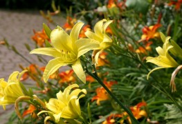 6 hints to help extend the life of your daylilies