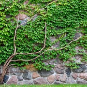 Care-free lawns: evergreen groundcovers